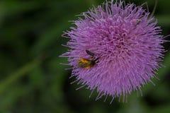 O pólen cobriu a abelha Fotos de Stock