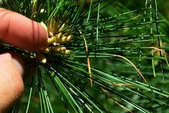 O pólen está caindo da flor da árvore conífera da família do pinus após um toque do indicador adulto do homem Imagem de Stock