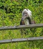 O pônei feroz selvagem com uma juba longa pasta em Grayson Highlands fotos de stock royalty free