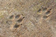 O pé do lúpus de Canis do lobo imprime na lama macia Fotografia de Stock Royalty Free