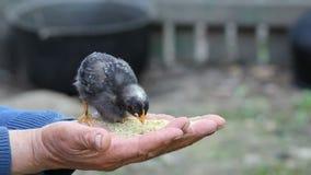 O pai forte entrega guardar uma galinha que alimenta, pássaro delicado da carícia da mão da criança vídeos de arquivo