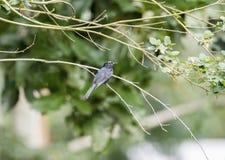 O pammelaina preto do sul de Melaenornis do papa-moscas empoleirou-se em um ramo Foto de Stock Royalty Free