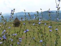 O panorama bucólico do Maramures em Romênia com acampamento azul floresce no primeiro plano, nas bolas do feno e nas montanhas na Foto de Stock Royalty Free
