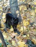 O panter pequeno na natureza está caçando para fotografia de stock royalty free