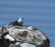 O papa-moscas de Hammond alerta Imagem de Stock