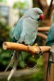 O papagaio Foto de Stock
