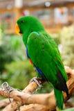 O papagaio Fotografia de Stock Royalty Free
