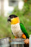 O papagaio Fotos de Stock