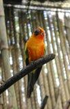 O papagaio amarelo está sentando-se em um ramo que levanta para um fotógrafo Imagens de Stock
