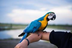O papagaio bonito da arara empoleirou-se no braço direito Fotos de Stock