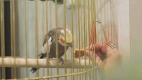 O papagaio bonito que senta-se em uma gaiola come cookies Mão fêmea que alimenta um papagaio video estoque