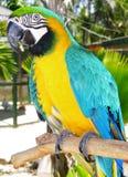 O papagaio colorido Foto de Stock