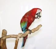 O papagaio colorido aterrou no ramo, no branco Imagem de Stock