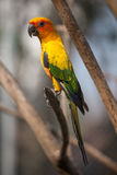 O papagaio colorido na vara de madeira Foto de Stock Royalty Free