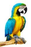 Papagaio colorido Fotos de Stock Royalty Free