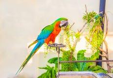 O papagaio da corte, papagaio colorido, papagaios bonitos, repete mecanicamente o gabinete Fotos de Stock Royalty Free