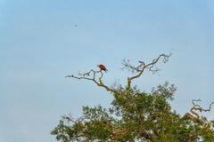 O papagaio de Brahminy ou Haliastur indus sentam-se no ramo Foto de Stock