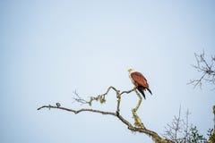 O papagaio de Brahminy ou Haliastur indus sentam-se no ramo Fotos de Stock