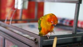 O papagaio do conure de Sun come cookies vídeos de arquivo