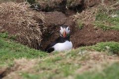 O papagaio-do-mar (arctica do Fratercula) nele é toca Fotos de Stock
