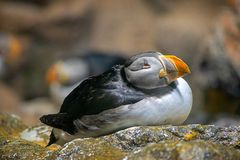 O papagaio-do-mar atlântico, pássaro, relaxa, retrato, bonito imagem de stock