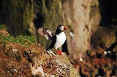 O papagaio-do-mar bate as asas Foto de Stock