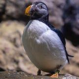 O papagaio-do-mar da tristeza é viver fechado no jardim zoológico imagem de stock