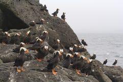 O papagaio-do-mar dos comandantes Islands.Tufted Fotografia de Stock Royalty Free