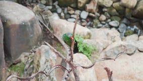 O papagaio heterogêneo exótico bonito escala no ramo da árvore no jardim tropical, pássaros asiáticos, fauna do tropical video estoque