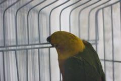 O papagaio verde-amarelo bica barras imagens de stock