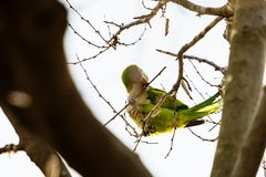 O papagaio verde bonito nomeou o periquito de Monge que senta-se no ramo de ?rvore em Barcelona foto de stock