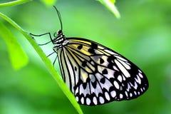 O papel de papel do papagaio ou de arroz ou grande borboleta da ninfa da árvore igualmente conhecido como a ideia Leuconoe Imagem de Stock Royalty Free