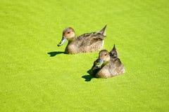 O par de arrabio ducks a natação nos duckweeds imagens de stock royalty free
