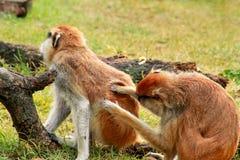 O par de macaco está preparando Macaco masculino que verifica para ver se há pulga e tiquetaques na fêmea Pele da família do maca fotos de stock royalty free