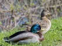 O par de pato selvagem ducks na mola, Seine River, França Fotografia de Stock
