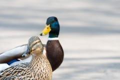 O par de pato selvagem Ducks o close up da estrada do cruzamento Fotos de Stock Royalty Free