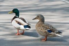 O par de pato selvagem Ducks o close up da estrada do cruzamento Fotos de Stock