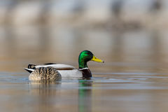 O par de pato selvagem ducks platyrhynchos dos anas que nada Foto de Stock