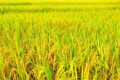 O paraíso do fazendeiro é campo dourado do arroz que brilha distante e longe fotografia de stock royalty free