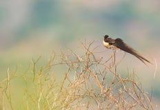 O Paraíso-Whydah oriental Fotos de Stock