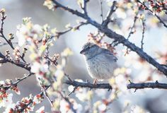 O pardal bonito engra?ado do p?ssaro que senta na primavera o jardim em um ramo de morno ensolarado das flores de cerejeira pode  foto de stock