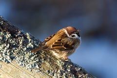 O pardal de árvore (montanus do transmissor) aprecia a luz do sol. foto de stock