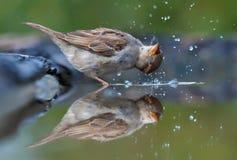 O pardal de casa banha-se com lote das gotas na água do efeito do espelho fotografia de stock