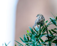 O pardal de casa fêmea empoleirou-se em um ramo de árvore Fotografia de Stock Royalty Free