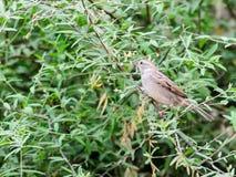 O pardal de casa fêmea empoleirou-se em um ramo de árvore Imagens de Stock Royalty Free