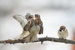 O pardal dos pássaros discute no ramo que bate as asas Foto de Stock Royalty Free