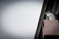 O pardal está guardando o ninho imagens de stock royalty free