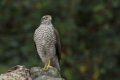 O pardal-falcão Foto de Stock