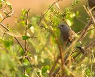 O pardal Papagaio-faturado Imagem de Stock