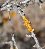 O parietina de Xanthoria, líquene alaranjado, líquene amarelo que cresce em três, fecha-se acima da foto fotografia de stock royalty free